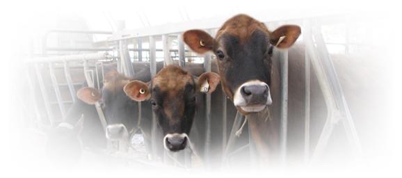 Grobrook Farm cows