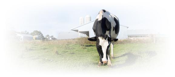 hostein cow