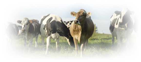 multi cow breeds on grassland