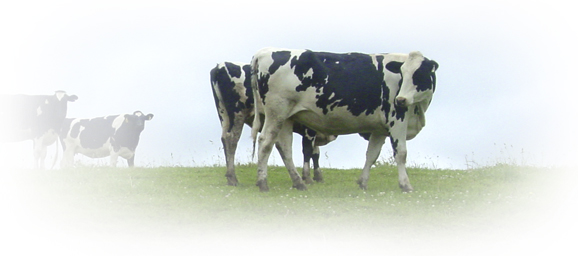 herd of holsteins in the grass