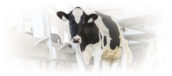 holstein cow in barn